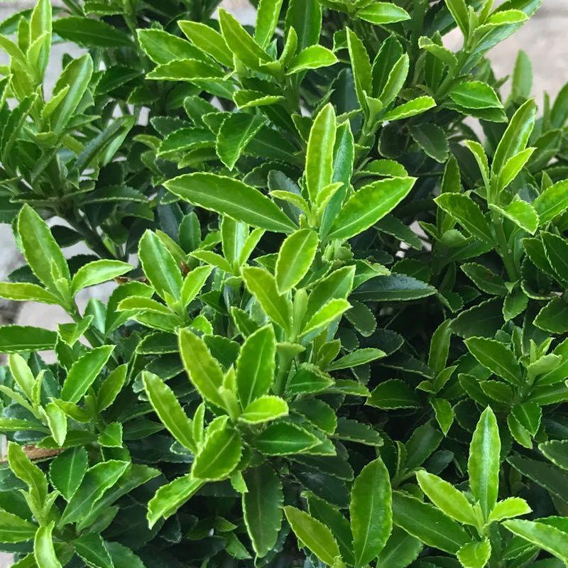 Euonymus j. 'Microphylla'