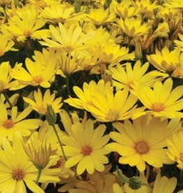 Osteospermum 'Voltage Yellow'