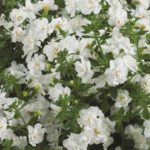 Bacopa 'Gulliver Double Snowball'