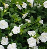 Calibrachoa 'Minifamous Double White'