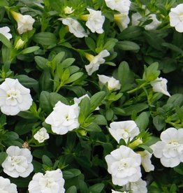 Calibrachoa 'Minifamous Double White'