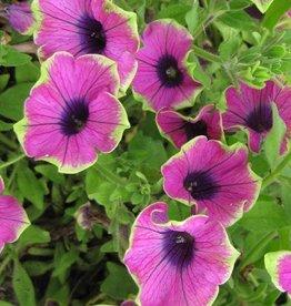 Petunia 'Supertunia Pretty Much Picasso'