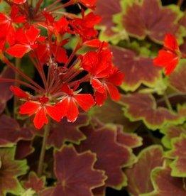 Geranium Fancy Leaf 'Vancouver Centennial'