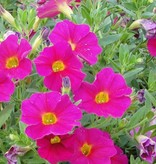 Calibrachoa 'Callie Rose'