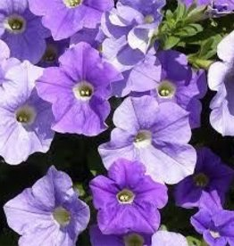 Petunia 'Surfinia Sky Blue'