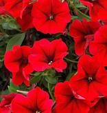 Petunia 'Surfinia Red'