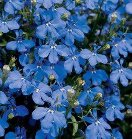 Lobelia 'Lucia Dark Blue'