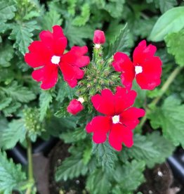 Verbena 'Fuego Bright Red'