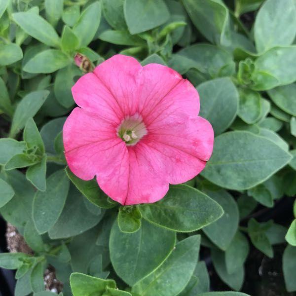 Petunia 'Supertunia Bermuda Beach'