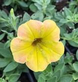 Petunia 'Supertunia Honey'