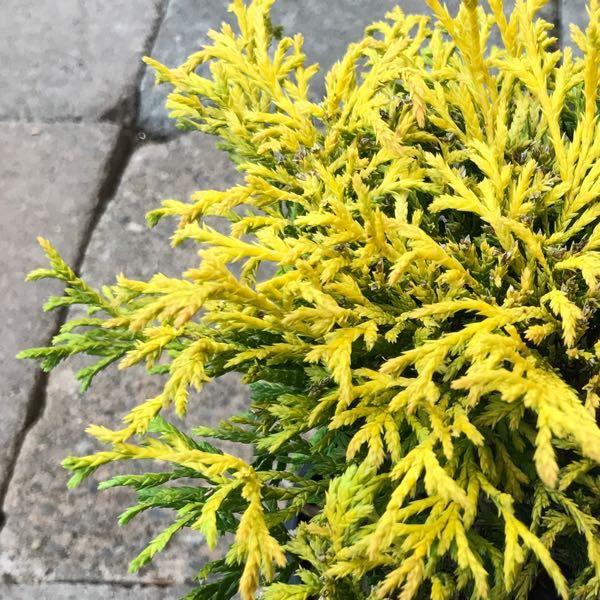 Cham. pisifera 'Golden Mop'