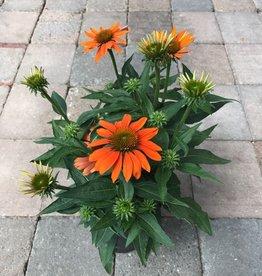 Echinacea 'Sombrero Adobe Orange'