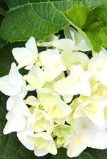 Hydrangea 'Blushing Bride'