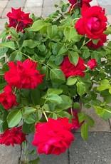 Rosa 'Balsuhe'