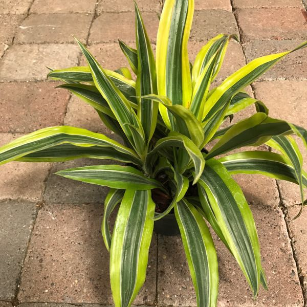 Dracaena 'Lemon Lime Bush'