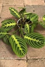 Marantha 'Prayer Plant'