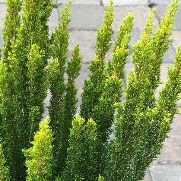 Erica arborea 'Golden Joy'