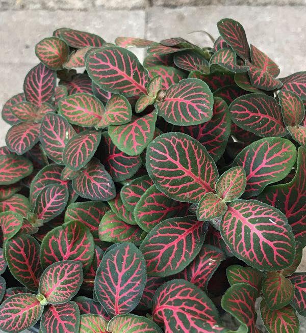 Fittonia verschaffeltii 'Red Vein'