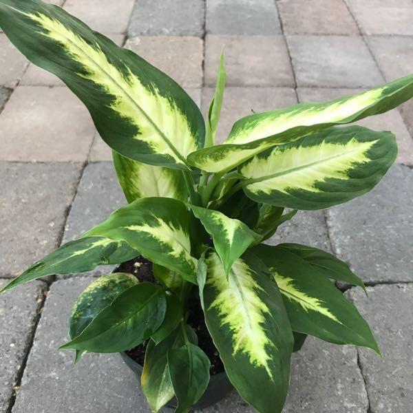 Dieffenbachia maculata 'Camille'