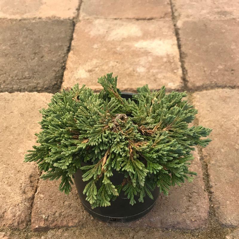 Juniperus h. 'Pancake'