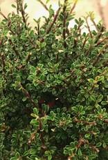 Cotoneaster m. 'Thymifolius'