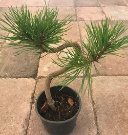 Pinus mugo 'Twisty'