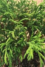 Cham. pisifera 'Filifera'