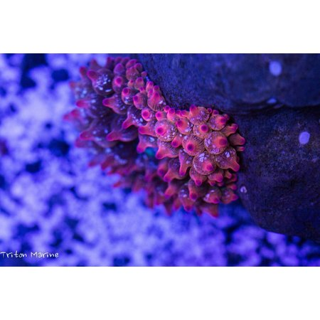 Rose Bubble Anemone