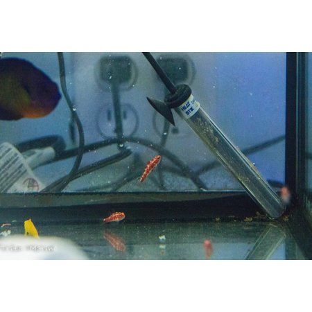Red Spotted Goby (Trimma rubromaculatus) G