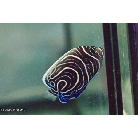 Emperor Angelfish (Pomacanthus imperator) Changing