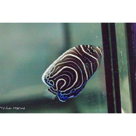 Emperor Angelfish (Pomacanthus imperator) Juvenile