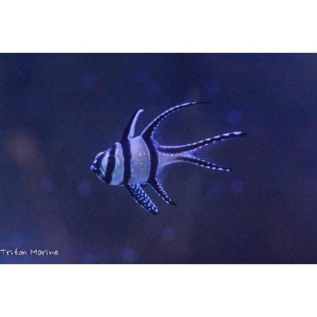 Banggai Cardinalfish (Pterapogon kauderni) Captive Bred
