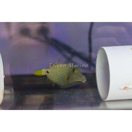 Undulate Triggerfish (Balistapus undulatus)