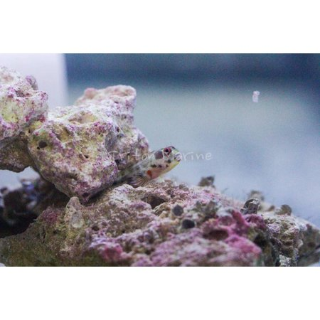Panamic Barnacle Blenny (Acanthemblemaria hancocki)