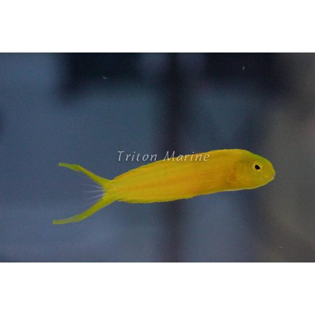 Canary Blenny (Meiacanthus oualanensis)