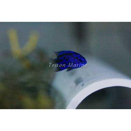 Blue Sapphire Damselfish (Chrysiptera springeri)