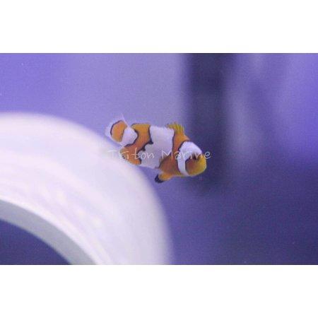 Snow Onyx Clownfish (Amphiprion ocellaris x percula) Captive Bred G
