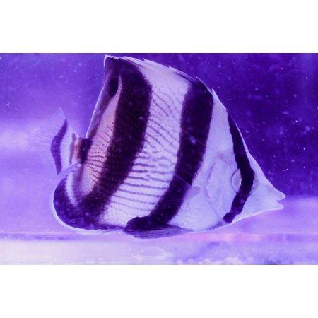 Banded Butterflyfish (Chaetodon striatus)
