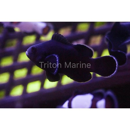 Midnight Clownfish (Amphiprion ocellaris) Captive Bred G