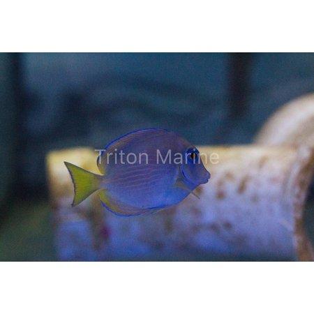 Atlantic Blue Tang (Acanthurus coeruleus)