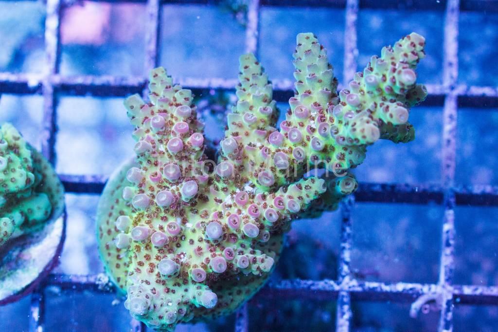 Difficult Care Corals