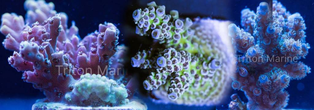 SPS Hard Corals