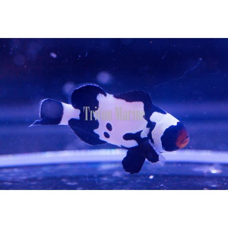 Black Snowflake Clownfish (Amphiprion ocellaris) Captive Bred G