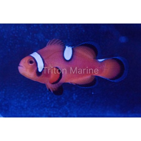 Nearly Naked Clownfish (Amphiprion Ocellaris) Captive Bred G