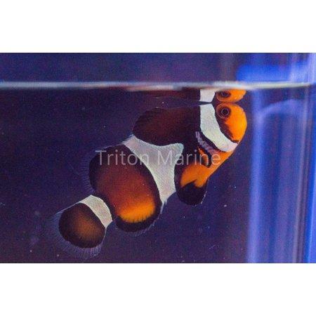 Chocolate Mocha Clownfish (Amphiprion ocellaris) Captive Bred G