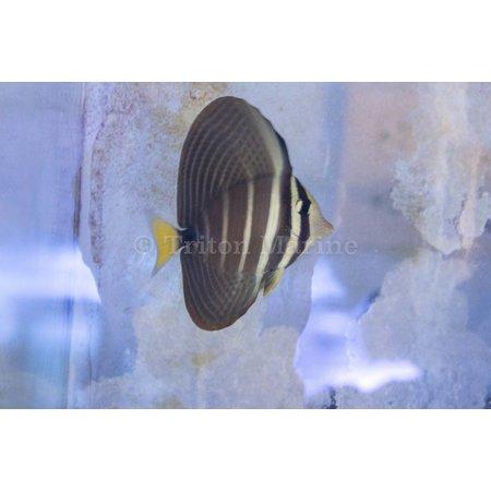 Sailfin Tang (Zebrasoma velifer) G