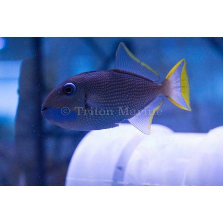 Blue Throat Triggerfish (Xanthichthys auromarginatus) Male