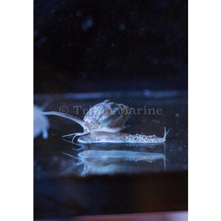 Tonga nassarius snail-Nassarius sp