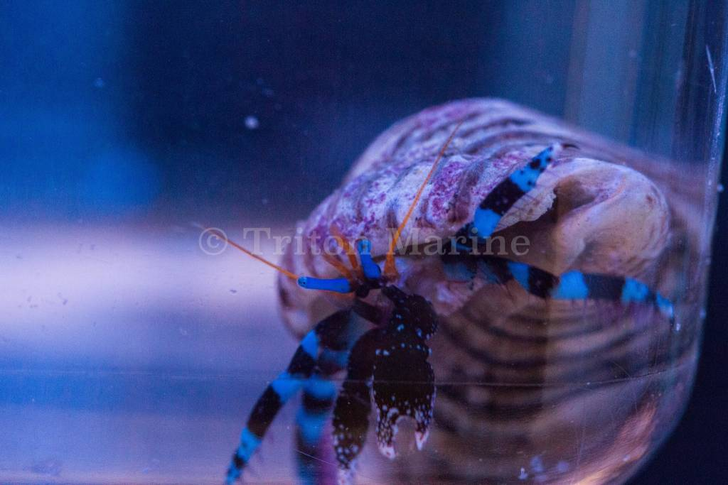 Blue Knuckle Hermit Crab