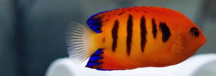 Angelfish, Dwarf